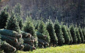 7 feet tall Christmas trees