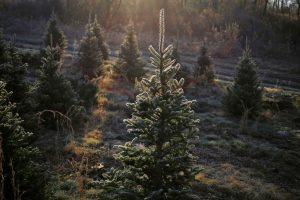 full size live christmas Tree
