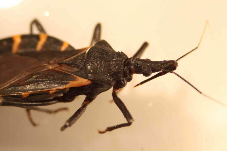 kissing bug