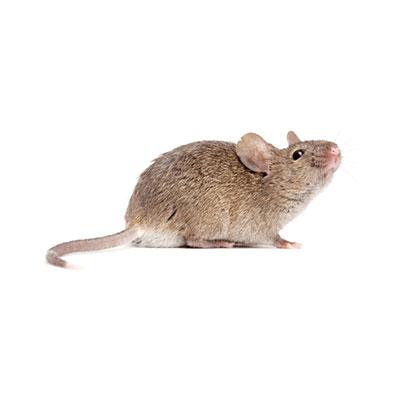 Ways to Prevent Mice Invasion