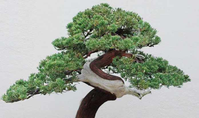 Bonsai tree near me