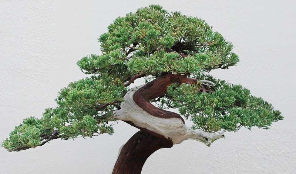 Bonsai tree near me