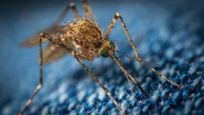 Genetically Modified Mosquito Larvae to Curb Diseases in the Florida Keys